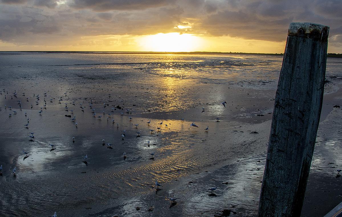 Ondergaande zon boven het wad, met grote kolonies fouragerende meeuwen